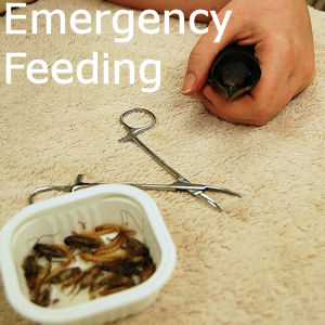Emergency Feeding of Purple Martins
