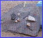 Biddle baited house sparrow trap